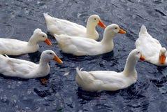 Patos brancos Foto de Stock