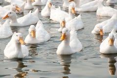 Patos brancos Fotos de Stock Royalty Free