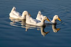 Patos brancos do pekin americano que nadam através de um lago imóvel no por do sol imagem de stock royalty free
