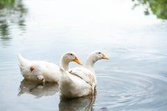 Patos brancos dos pares em um lago da água Americano Pekin que se deriva dos pássaros trazidos ao Estados Unidos de China no déci imagem de stock