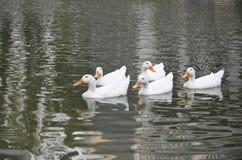 Patos brancos na formação Fotos de Stock