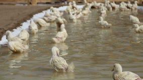 Patos brancos no lago artificial pequeno vídeos de arquivo