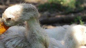 Patos brancos que descansam no gramado da grama na sombra filme