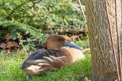 Patos cerca del árbol foto de archivo