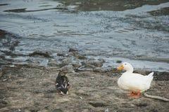 Patos cerca del río Fotografía de archivo