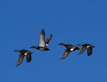 Patos cinzentos do Norte da Europa do vôo foto de stock royalty free