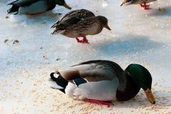 Patos cinzentos que correm para obter o alimento fotografia de stock royalty free
