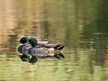 Patos coloridos en el lago Foto de archivo libre de regalías