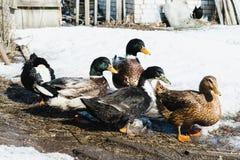 Patos coloridos na fazenda na mola adiantada imagem de stock royalty free