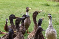 Patos com fome com fome Foto de Stock