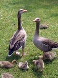 Patos com pintainhos 01 Imagens de Stock Royalty Free