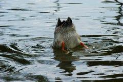Patos com sua cabeça sob a água Fotos de Stock Royalty Free