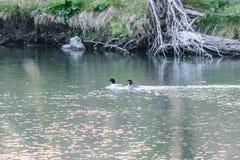 Patos comunes del merfnaser que nadan Fotos de archivo
