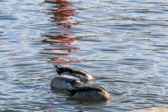 Patos con las cabezas en la consumición del agua Foto de archivo