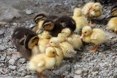 Patos con los anadones Fotografía de archivo libre de regalías