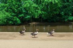 Patos da árvore Fotos de Stock Royalty Free