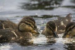 Patos da natação Fotos de Stock