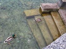 Patos da natação Foto de Stock
