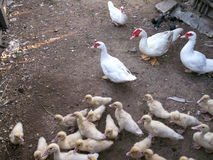 Patos de agrupamento Fotografia de Stock
