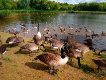 Patos de alimentación en el lago Imágenes de archivo libres de regalías