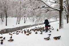Patos de alimentación de la muchacha en invierno en el río Imagen de archivo