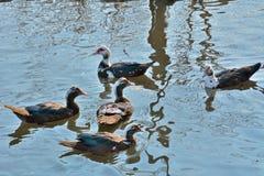 Patos de almizcle 26 Fotografía de archivo