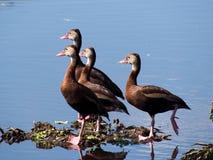 Patos de assobio Preto-inchados Fotografia de Stock