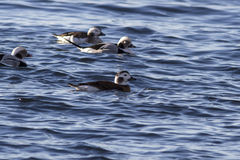 Patos de cola larga femeninos y un grupo de flotación en el agua DA Foto de archivo libre de regalías