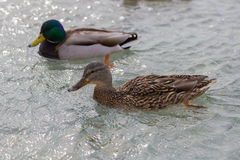 Patos de flutuação Fotografia de Stock