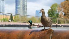 Patos de la fuente de la ciudad almacen de metraje de vídeo