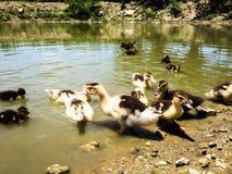 patos de la granja Fotografía de archivo