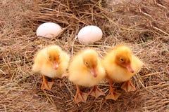 Patos de la granja Imagenes de archivo