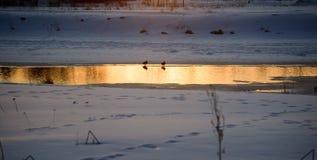 Patos de la invernada Imagen de archivo libre de regalías