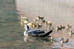 Patos de la madre y patos de los bebés Imagen de archivo libre de regalías