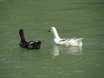 Patos de la natación Foto de archivo