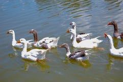 Patos de la natación fotografía de archivo libre de regalías