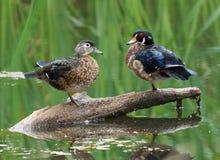 Patos de madeira - sponsa do Aix foto de stock royalty free