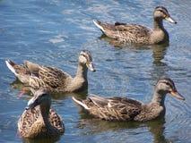 Patos de madera adultos en el río Fotos de archivo libres de regalías