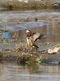 Patos de mandarín - pájaros del amor Fotografía de archivo
