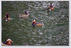 Patos de mandarín que juegan en el agua Foto de archivo libre de regalías