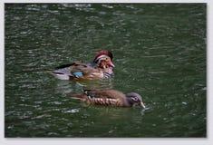 Patos de mandarín que juegan en el agua Foto de archivo