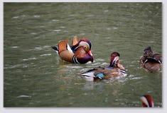 Patos de mandarín que juegan en el agua Fotos de archivo libres de regalías