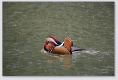 Patos de mandarín que juegan en el agua fotografía de archivo libre de regalías