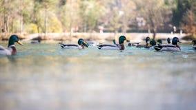 Patos de mandarín que nadan en un lago Foto de archivo