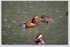 Patos de Manrdarin que juegan en el wate Fotos de archivo
