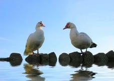 Patos de Muscovy en el agua Fotografía de archivo