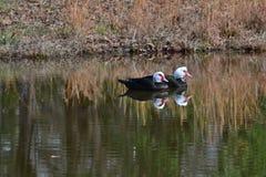 Patos de Muscovy II Foto de archivo libre de regalías