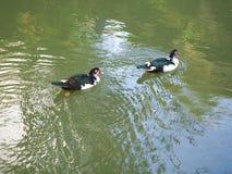 Patos de Muscovy no lago verde imagens de stock royalty free
