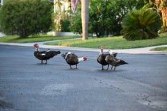 Patos de Muscovy que cuelgan hacia fuera en grupo Fotos de archivo