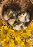 Patos de Pascua Foto de archivo libre de regalías